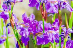 paintings of a bunch of iris flowers up close - Yahoo Image Search Results