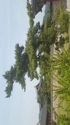 한국의 소나무