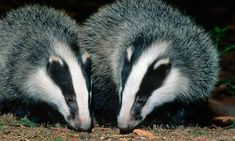 Two badgers  #Badgers Visit our page here: http://what-do-animals-eat.com/badgers/