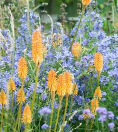 With their unusual shapes and brilliant colors, Kniphofias (Red Hot Pokers) are wonderful herbaceous perennials to combine with Campanula (Milky Bellflowers) in beds and borders.