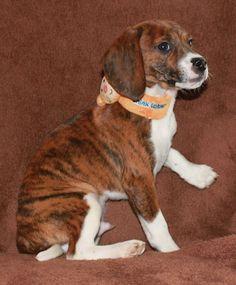Queen Elizabeth Pocket Beagle Male In The Latest Developed Tiger Brindle Pattern Beagle Dog Beagle Dog Breed Beagle Puppy