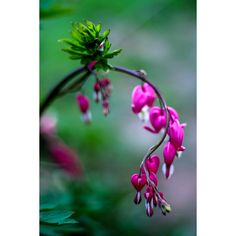 Nature Photography.Old-Fashioned Bleeding Hearts.Pink.Botanical... (€18) ❤ liked on Polyvore featuring home, home decor, wall art, heart home decor, photographic wall art, pink flower wall art, pink home decor and flower wall art