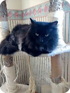 Saint Albans, WV - Maine Coon. Meet Big John, a cat for adoption. http://www.adoptapet.com/pet/10092555-saint-albans-west-virginia-cat