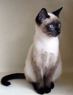 The Siamese is an ancient cat breed that is famous for its outstanding personality. These beautiful cat breeds have sharp intelligence, curious personality and a loving nature. They are great at communication and the Siamese voice is legendary. They speak with their voice as well as with their body.