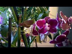 Como recibir al nene sobre la orquídea de Falenopsis sin hormonas \ // Ирина Плеханова Small Farm, Orchids, Projects To Try, Garden, Flowers, Diy, Youtube, Child, Phalaenopsis Orchid