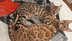 bengal mère et fille Cute Cats, Animals, The Sea, Pretty Cats, Animaux, Animal, Animales, Animais