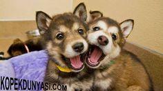 Köpekler doğdukları andan itibaren insanlara karşı sevgi duyar :)  <3