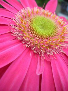 Gerbera - How to grow & care Tall Wedding Centerpieces, Wedding Flower Arrangements, Flower Bouquet Wedding, Floral Arrangements, Gerbera Wedding, Tall Centerpiece, Flower Bouquets, Bridal Bouquets, Unusual Flowers