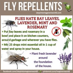 Natural Fly Repellent Recipe - Flies don't like Bay leaves, Lavender, Mint and Rosemary.  Put bay leaves and rosemary in a bowl and place it on kitchen counters, around garbage.  Plant fresh lavender around foundation of the house.  Mix 25 drops mint essential oil in 1 cup of water and spray in your house.