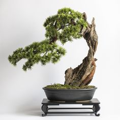 A tree made from scratch by hand in accordance with the tradition of bonsai trees. Cedar Trees, Bonsai Trees, Aquascaping, Flower Planters, Pine Tree, Landscape Design, Landscaping, Flowers, Furniture