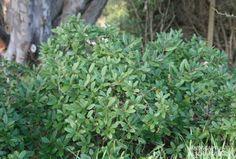 1. Rhamnus Californica mound san bruno - Google Search