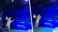 Bears at Grandview Aquarium