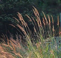1000 images about gorgeous grasses on pinterest grasses. Black Bedroom Furniture Sets. Home Design Ideas