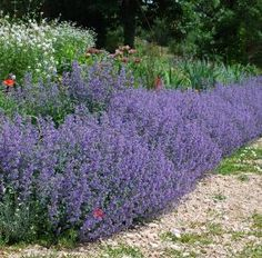 Nepeta Six Hills Giant is commonly known as 'Catmint'. A vigorous perennial forming a clump of aromatic, soft, grey-green leaves. Spikes of lavender-blue flowers appear during… Lavender Flowers, Blue Flowers, Spring Plants, Hardy Plants, Lawn Care, Hedges, Trees To Plant, Garden Furniture, Garden Landscaping