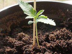 cultivo-de-marihuana-en-tierra