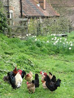 We love this shot of chickens on the farm. Country Farm, Country Life, Country Living, French Country, Future Farms, Chickens And Roosters, Farms Living, Down On The Farm, Hobby Farms