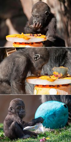 Young gorilla named Joanne celebrated her first birthday with an ice cake and fun festivities at the San Diego Zoo Safari Park.