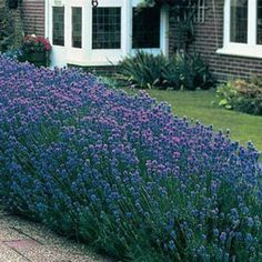 Striking royal purple-blue blossoms  and silver-green foliage—  all in one hardy, fast-growing  plant. Perfect as a border plant,  low hedge, cut f...