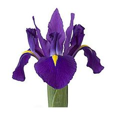 parts of iris flower. the word iris means a rainbow. white and purple bit yellow iris flower. Iris Wedding Flowers, Church Wedding Flowers, Iris Flowers, Exotic Flowers, Purple Flowers, Wedding Bouquets, Purple Iris, Purple Haze, Dark Purple