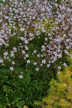 Small plants, huge payoff: Why you should plant saxifrage in your garden | OregonLive.com
