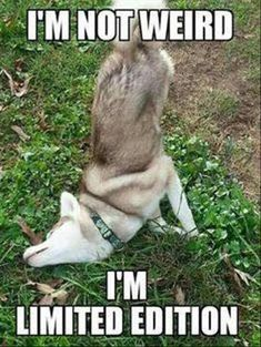 Funny husky memes that we all love Humor Animal, Funny Animal Jokes, Funny Dog Memes, Cute Funny Animals, Funny Quotes, Pet Memes, Funny Puppies, Funny Dog Sayings, Funny Friday Memes