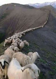 Goats and sheep, Zagros mountains, Lorestan province, Iran Farm Animals, Animals And Pets, Funny Animals, Cute Animals, Vida Animal, Mundo Animal, Dame Nature, Flora Und Fauna, Sheep And Lamb