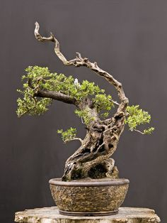 Olive tree. Walter Pall Bonsai Adventures: Botanical Garden Munich 2011 #1