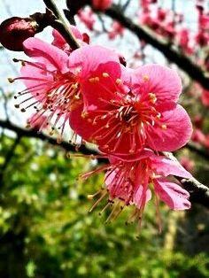 """트위터 @sadwalker 님  """"봄날의 홍매화꽃""""  #평화꽃"""