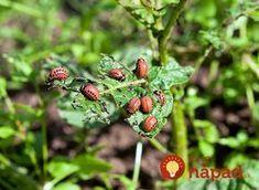 """Pásavka zemiaková, alebo ako my hovoríme """"mandelínka"""" – každoročný problém na našich zemiakových záhonoch. Keď pestujem zemiaky doma, chcem aby boli čo najviac bio, chémiu nepoužívam a celé roky som každý rok pracne oberala chrobáky ručne a potom zabárala vo vriacej vode. Gardening, Fruit, Plants, Janus, Lawn And Garden, Plant, Planets, Horticulture"""