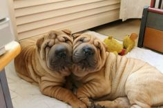 best images and photos ideas about awesome chinese shar pei dogs - oldest dog breeds