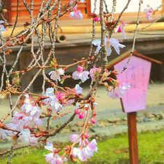 【keihan_railway】さんのInstagramをピンしています。 《冬なのに桜!? 京都の平野神社では、この季節でも十月桜が綺麗に咲いています!  #京都 #kyoto #桜 #桜2017 #平野神社 #landscape #instagram #instagood #japan #ファインダー越しの私の世界 #写真好きな人と繋がりたい #cherry #cherryblossom #instalike #カメラ好きな人と繋がりたい #カメラ部》