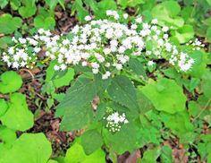 WHITE SNAKEROOT: (Ageratina altissima, formerly Eupatorium rugosum). Photographed Sept. 12, 2016 at McConnell's Mill State Park in Lawrence County, PA.
