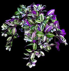 Purple Wandering Jew plants