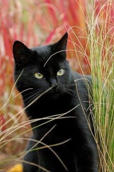 """Pure Beings"" --cuteandadorable: ""Beautiful black cat! I Love Cats, Crazy Cats, Cool Cats, Beautiful Cats, Animals Beautiful, Cute Animals, Cute Kittens, Cats And Kittens, Kitty Cats"
