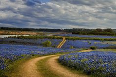 Where to See the Best Bluebonnets in 2017