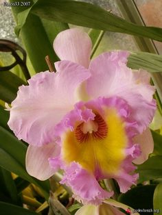 Or Blc Mahina Yahiro Ulii Cattleya Orchid Beautiful Flowers, Cattleya, Amazing Flowers, Hawaiian Flowers, Cattleya Orchid, Wonderful Flowers, Plants, Planting Flowers, Tropical Flowers