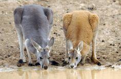 Kangaroos sharing a drink