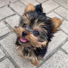 Cute Little Puppies, Cute Little Animals, Cute Dogs And Puppies, Cute Funny Animals, Cute Dogs For Sale, Funny Puppies, Pets For Sale, Morkie Puppies, Yorkie Puppy For Sale