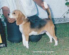 BEAGLE CANIL PEDRA DE GUARATIBA ELISABETH DA PEDRA DE GUARATIBA! Rio de Janeiro - RJ - Desde 1990! Site: http://www.canilpguaratiba.com #canilpedradeguaratiba #beaglecanilpedradeguaratiba #beagle