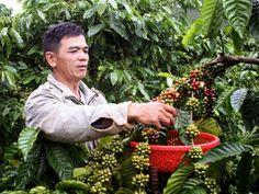 Tây Nguyên lai tạo thành công giống cà phê mới