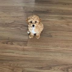 """Buddy on Instagram: """"Who?? Me?? 🐶❤️🐶 #maltipoo #puppy #maltipoopuppy #dogsofinstagram #puppies #furbaby #puppiesofinstagram #puppylove #teddybeardog #fluffy…"""" Teddy Bear Dog, Maltipoo, Puppy Love, Fur Babies, Puppies, Instagram, Puppys, Pup, Doggies"""