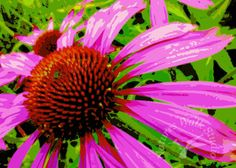 Purple Echinaeca / Coneflower - Abstract Digital Painting by Helen Campbell, NaturesWalkStudio
