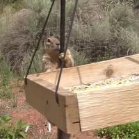 Rock Squirrel Raider