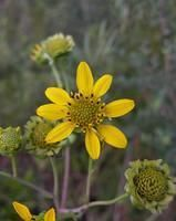Florida Wildflowers (western Florida Panhandle) - not all edible, but great for identifying plants. Shown: Cut-leaf Prairie Dock flowers