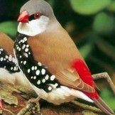 Diamond Firetail Finch – Australia