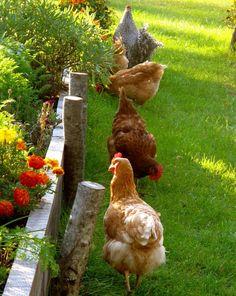 Des poules dans le jardin, en liberté