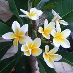 Frangipani. Not only beautiful, but a heavenly fragrance.
