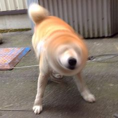 Cute little animals and other funny pictures Big Dogs, I Love Dogs, Cute Dogs, Shiba Inu Doge, Big Dog Breeds, Japon Tokyo, Japanese Dogs, Lovely Creatures, Cute Little Animals