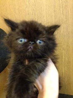 里親さんブログペルシャの子猫ちゃん - http://iyaiyahajimeru.jp/cat/archives/66317