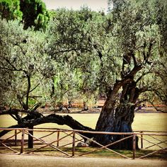 Olive tree, Brijuni National Park, Istria, Croatia.  Being around 1600 years old, this is one of the oldest Olive trees in Mediteranian!